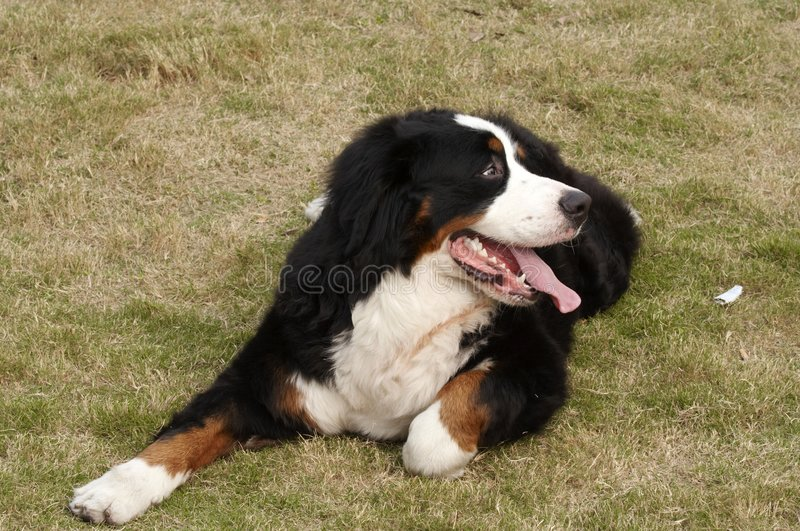 Bernese Mountain Dog. Any of a Swiss breed of large, muscular dogs having a soft, silky black coat with russet or tan markings on the forelegs, over each eye royalty free stock images