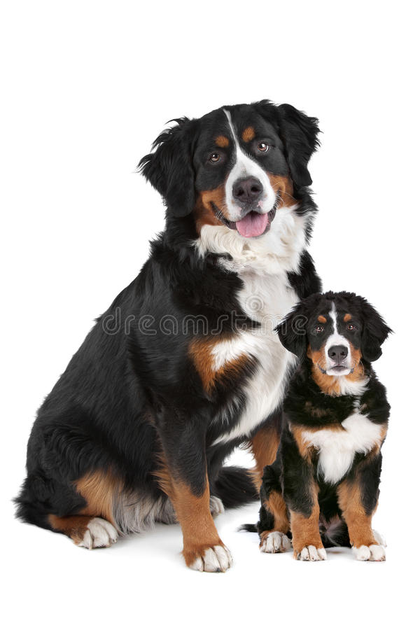 Bernese Mountain dog adult and puppy royalty free stock photos