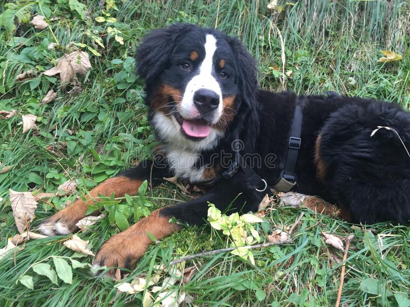 Bernese Mountain dog in Autumn stock images