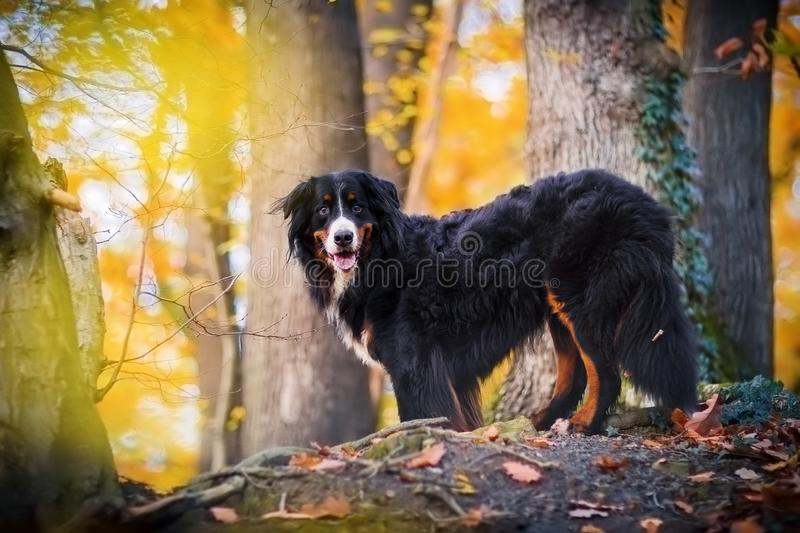 Bernese mountain dog in an autumn forest royalty free stock photo