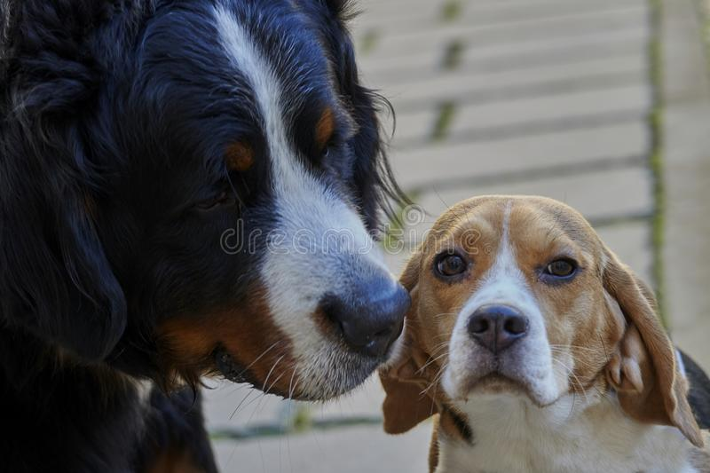 Bernese mountain dog and beagle stock images