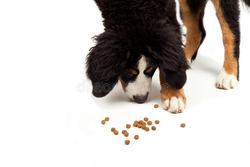 Download Bernese Mountain Dog Royalty Free Stock Photography - Image: 33178647