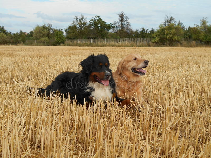 Bernese Mountain Dog and golden retriever in the cornfield. Bernese Mountain Dog and golden retriever in the has - field royalty free stock photos