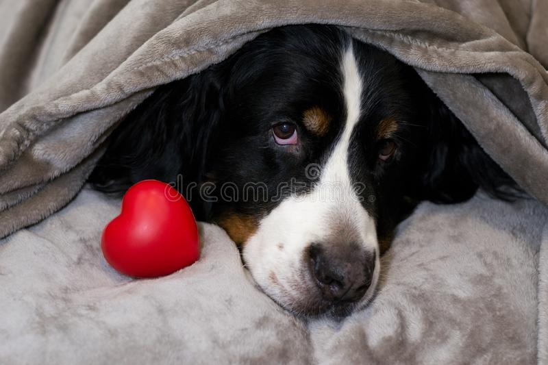 Bernese mountain dog is lying on bed with head covered with beige plaid near red heart. Concept of love, devotion, candor, charity royalty free stock images
