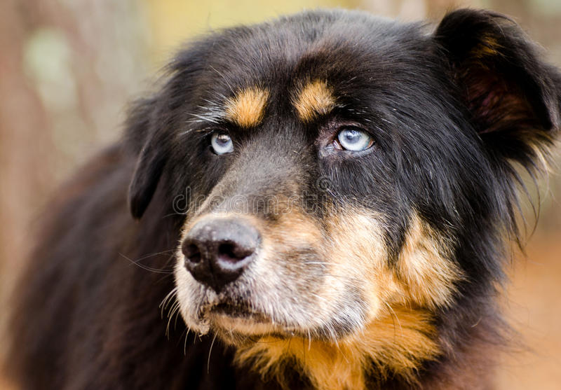 Bernese Mountain Dog mixed breed with blue eyes. Walton County Animal Control, humane society adoption photo, outdoor pet photography royalty free stock images