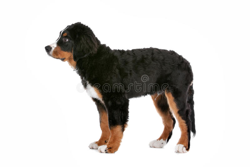 Bernese Mountain Dog puppy royalty free stock photo