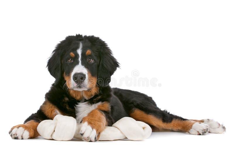 Bernese Mountain Dog puppy royalty free stock image