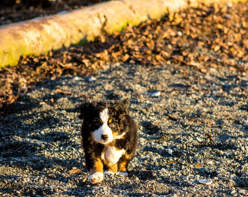 Bernese mountain dog puppy looking into the sunset on a pacific northwest beach. Bernese mountain dog puppy looking into the cameras lens on a pacific northwest royalty free stock images