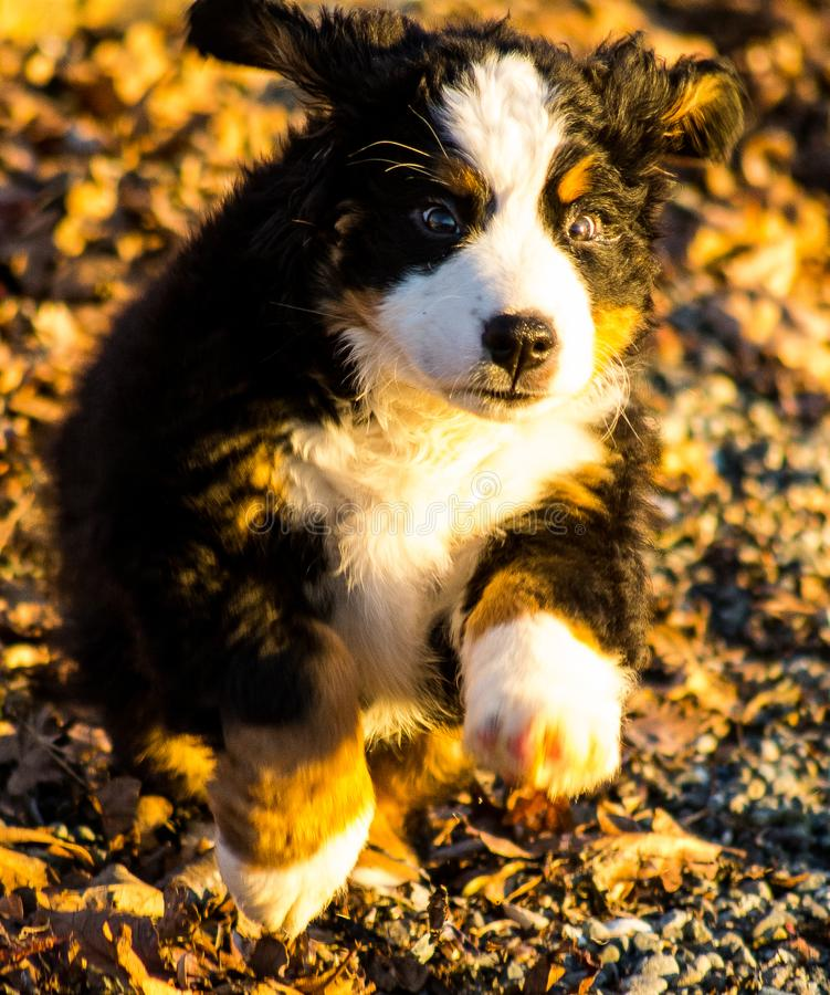 Bernese mountain dog puppy looking into the sunset on a pacific northwest beach. Bernese mountain dog puppy looking into the cameras lens on a pacific northwest royalty free stock photography