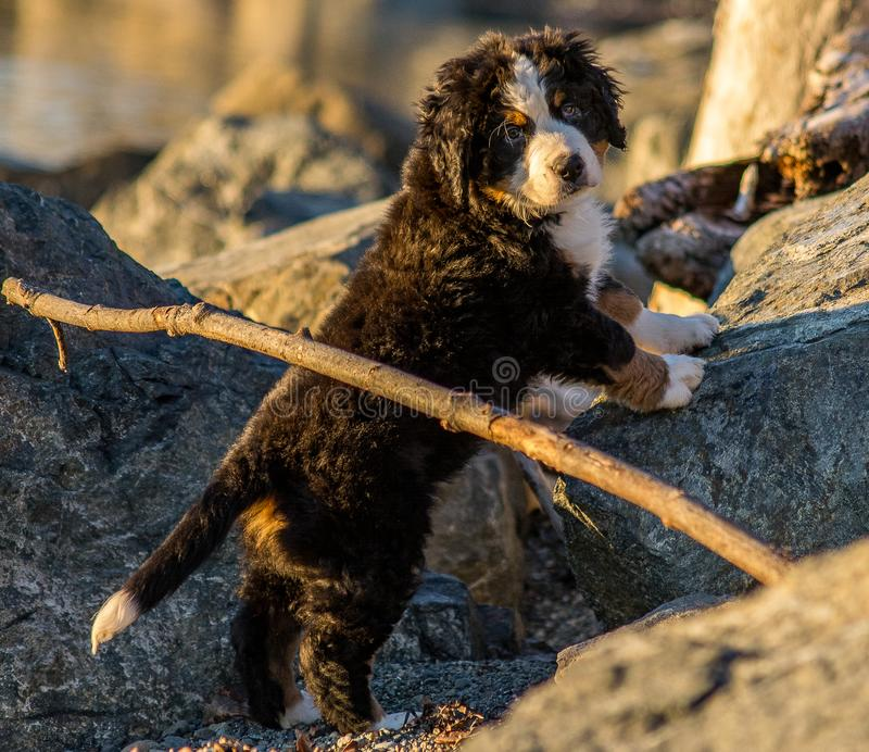 Bernese mountain dog puppy looking into the sunset on a pacific northwest beach. Bernese mountain dog puppy looking into the cameras lens on a pacific northwest royalty free stock photo