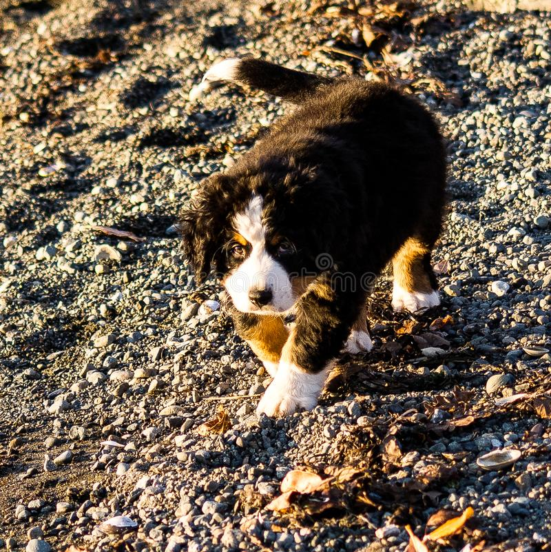 Bernese mountain dog puppy looking into the sunset on a pacific northwest beach. Bernese mountain dog puppy on a pacific northwest beach. The beach is rocky stock photography