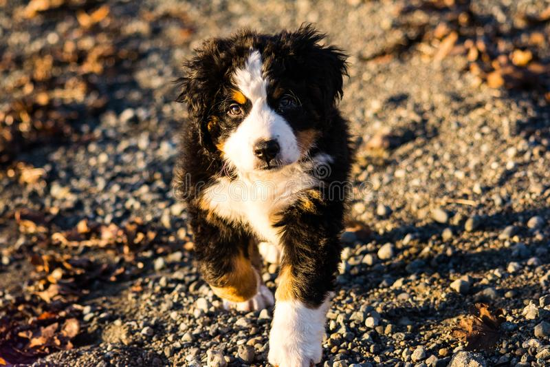 Bernese mountain dog puppy looking into the sunset on a pacific northwest beach. Bernese mountain dog puppy looking into the cameras lens on a pacific northwest stock image