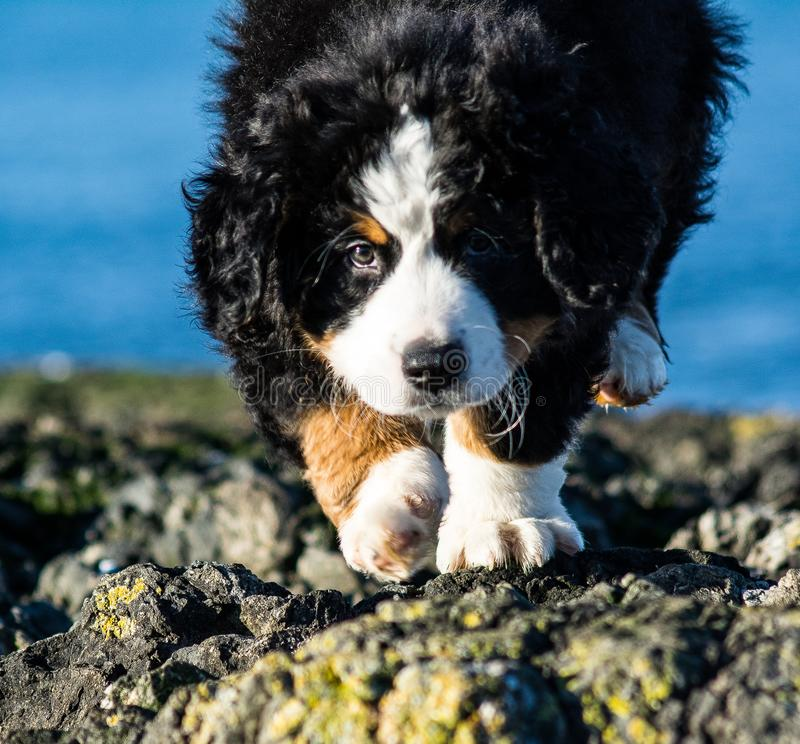Bernese mountain dog puppy looking into the sunset on a pacific northwest beach. Bernese mountain dog puppy on a pacific northwest beach. The beach is rocky stock image