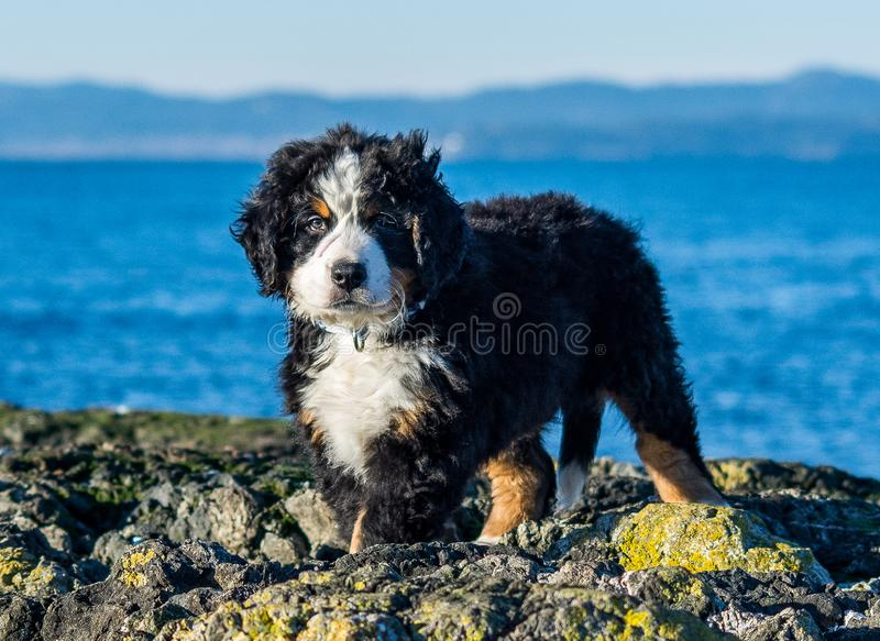 Bernese mountain dog puppy looking into the sunset on a pacific northwest beach. Bernese mountain dog puppy on a pacific northwest beach. The beach is rocky royalty free stock photos