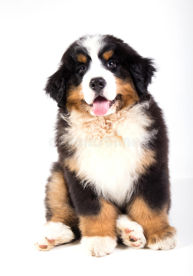 Bernese mountain dog puppy royalty free stock photography