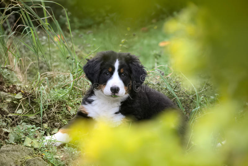 Bernese Mountain Dog puppy sitting in the grass with defocused foreground.  royalty free stock image