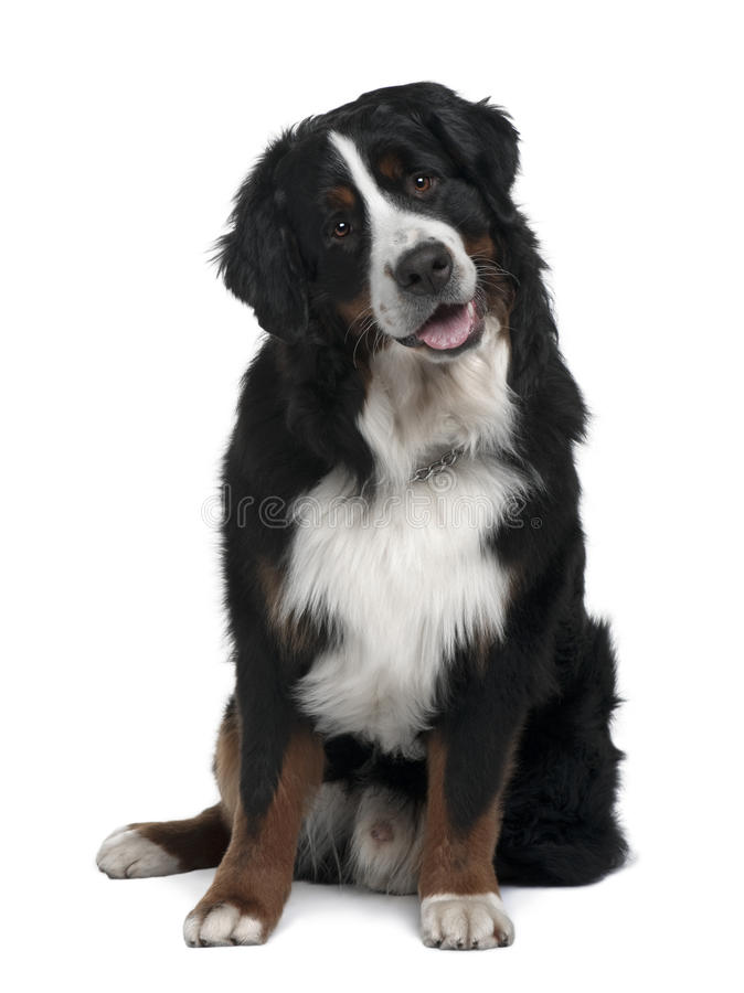 Free Bernese Mountain Dog, Sitting With Mouth Open Stock Photo - 12908970