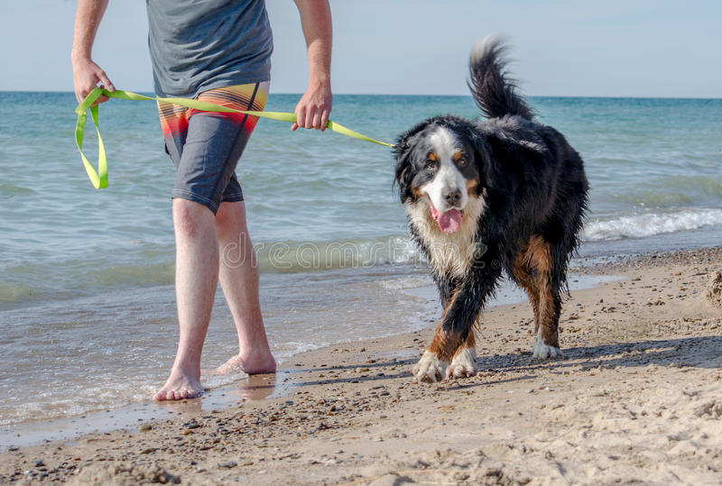 Bernese Mountain Dog walking on the dog beach in Michigan stock image