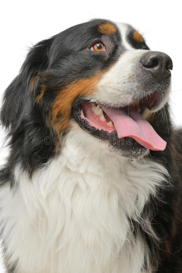 Download Bernese Mountain dog stock photo. Image of fluffy, kind - 41797762