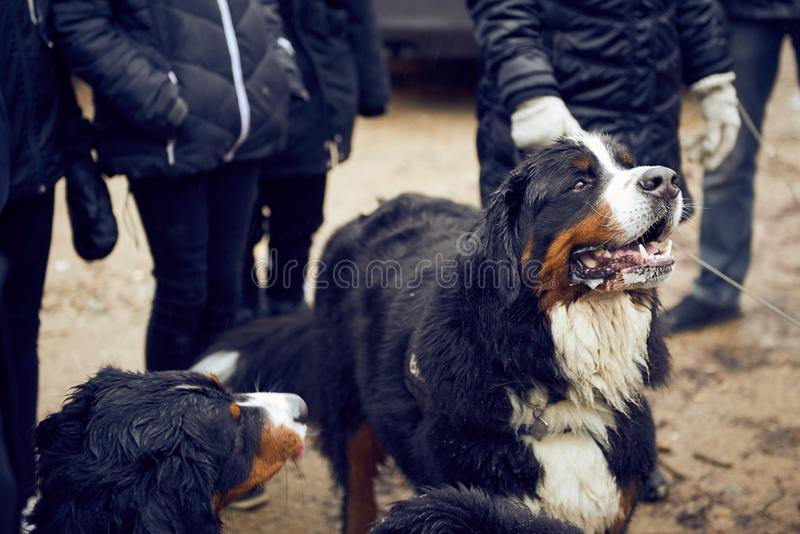 Bernese mountain dogs begging. A bunch of bernese mountain dog begging after a walk in the forest royalty free stock photo