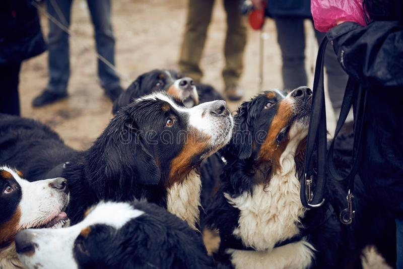 Bernese mountain dogs begging. A bunch of bernese mountain dog begging after a walk in the forest royalty free stock images