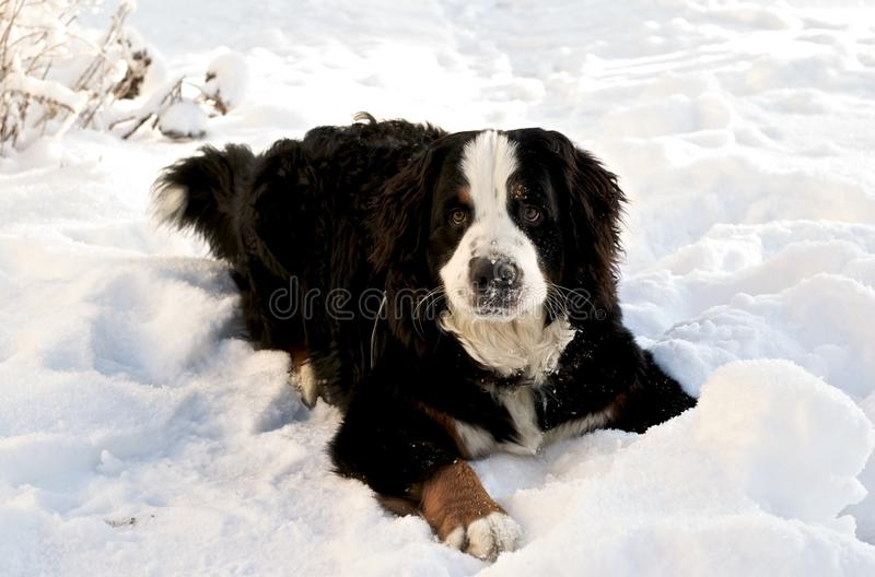 Bernese Mountaindog in de Sneeuw royalty-vrije stock foto