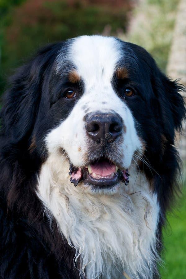 Bernese Mountaindog que sonríe a la cámara fotos de archivo libres de regalías
