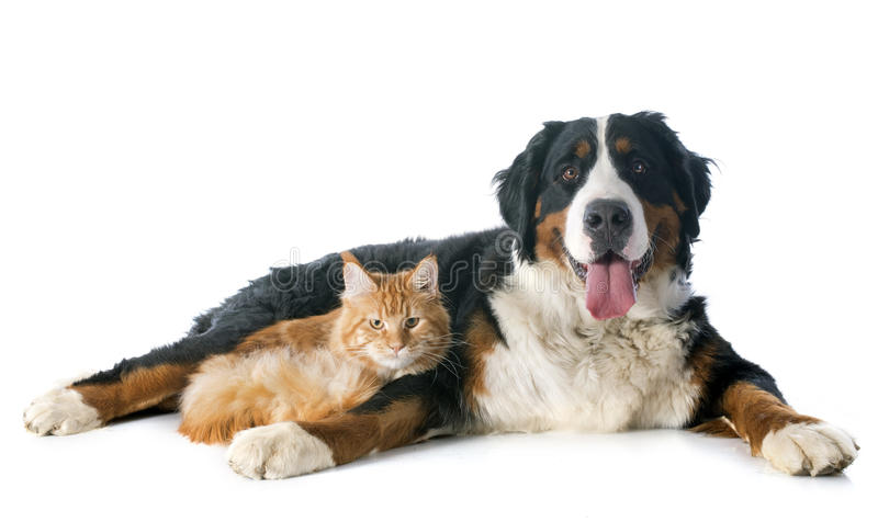 Bernese moutain狗和猫 免版税库存图片