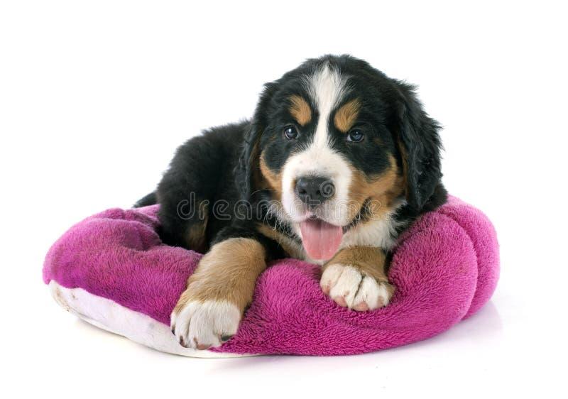 Bernese moutainhond van het puppy royalty-vrije stock foto's