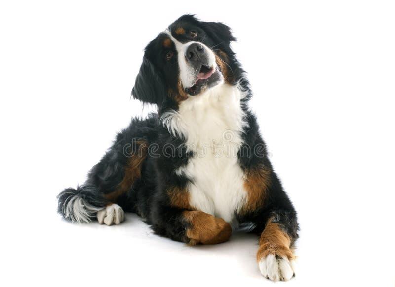 Bernese moutainhund royaltyfria bilder