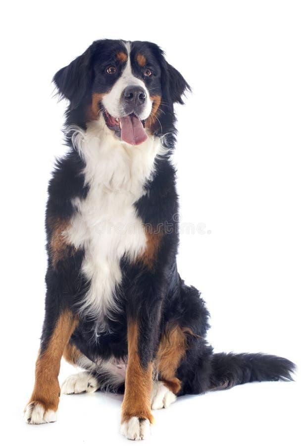 Bernese moutainhund för valp arkivbild