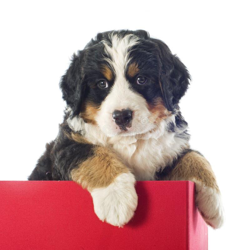 Bernese moutainhund för valp i en ask royaltyfria bilder