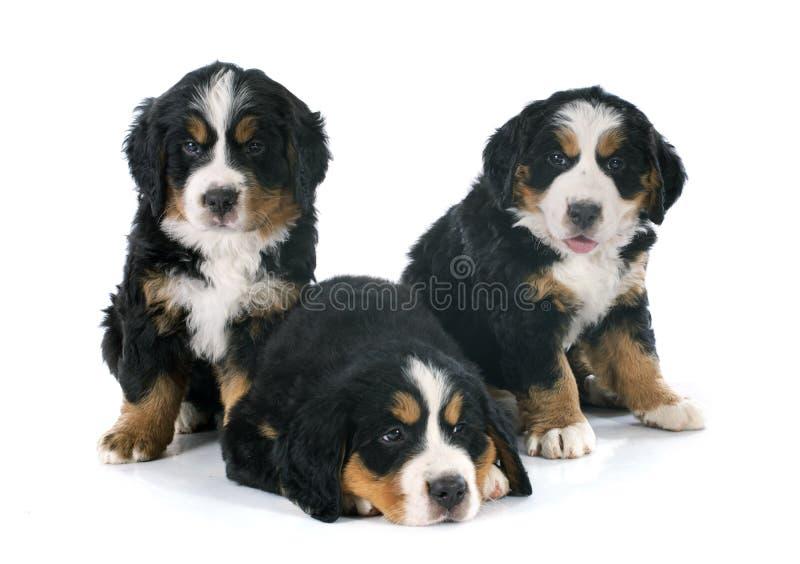 Bernese moutainhund för valpar arkivfoton