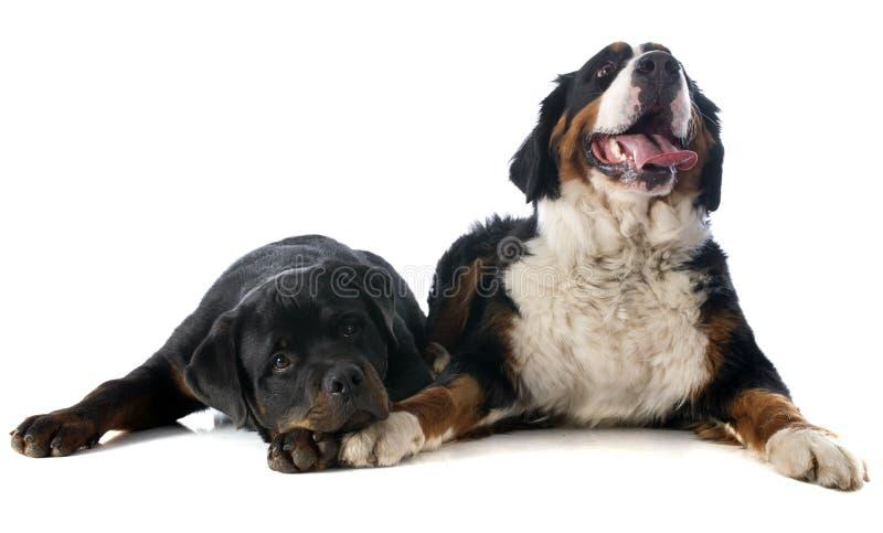 Bernese moutainhund och rottweiler royaltyfri foto