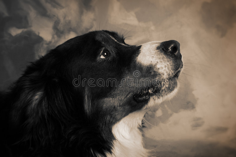 bernese pies obraz royalty free