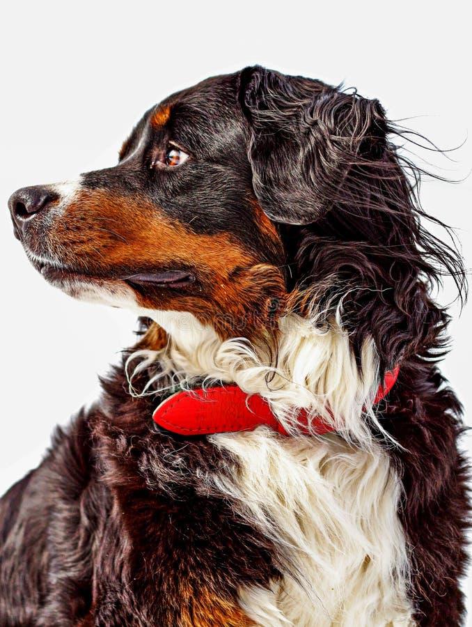 Bernese portret zdjęcie stock