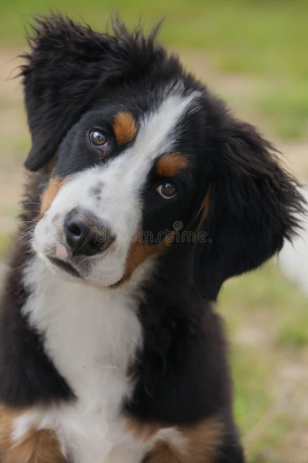 bernese psia góra zdjęcia stock