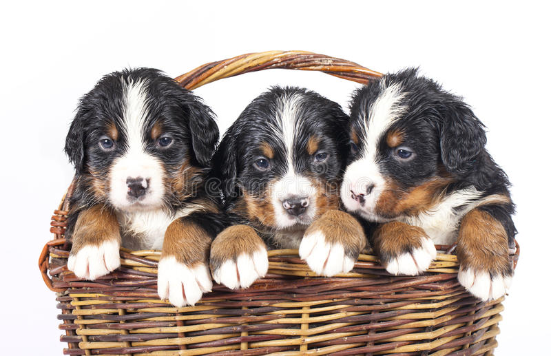 Bernese Sennenhund Puppies Royalty Free Stock Photo