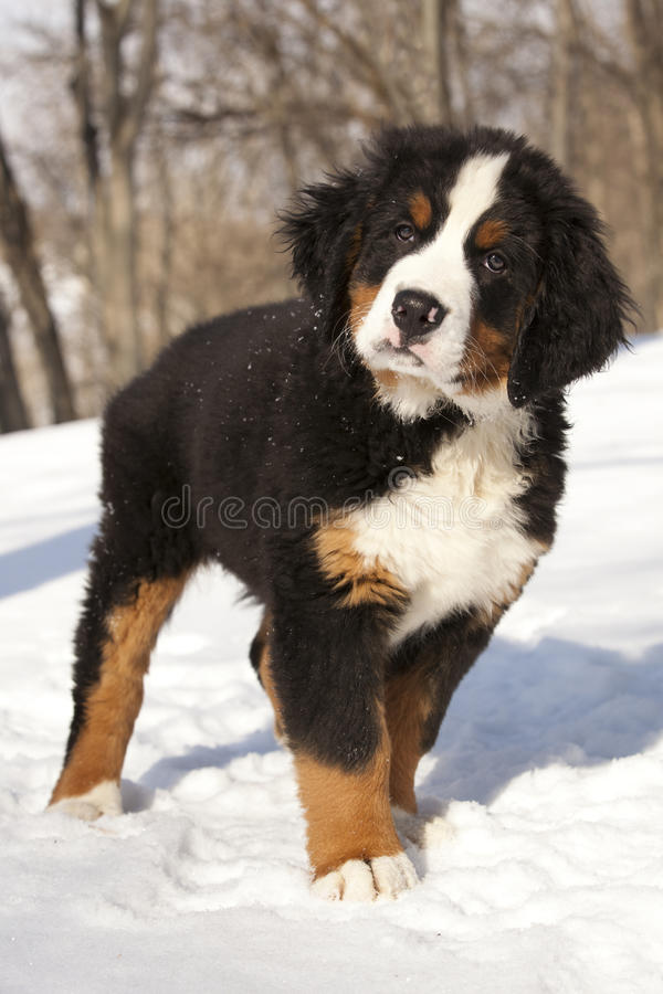 Download Bernese sennenhund puppy stock photo. Image of front - 23621806