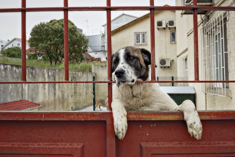 Bernhardiner-Hund, der direkt der Kamera betrachtet stockbild