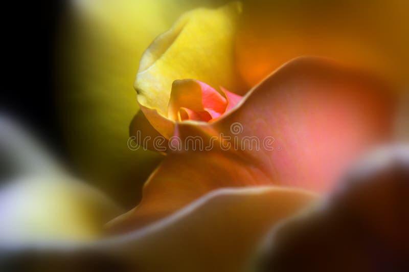 Bernsteinfarbige Königin Rose Stockfotos