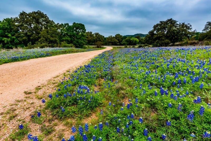 Beroemd Texas Bluebonnet Wildflowers bij de Landweg royalty-vrije stock afbeelding