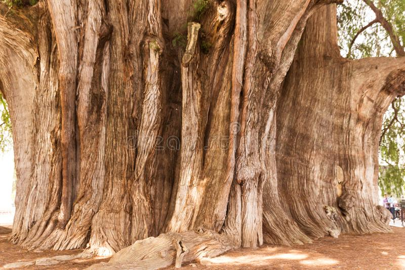 Beroemde boom van Tule in Oaxaca Mexico stock foto's
