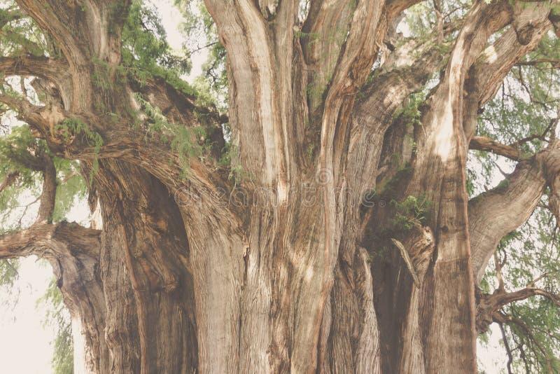 Beroemde boom van Tule in Oaxaca Mexico royalty-vrije stock fotografie