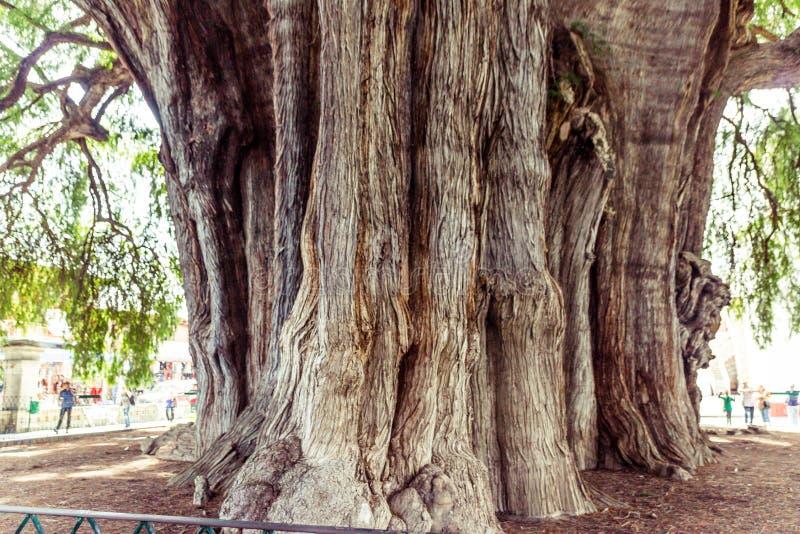 Beroemde boom van Tule in Oaxaca Mexico royalty-vrije stock foto