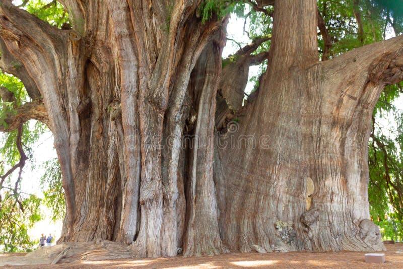 Beroemde boom van Tule in Oaxaca Mexico stock afbeeldingen