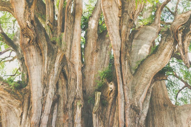 Beroemde boom van Tule in Oaxaca Mexico royalty-vrije stock afbeeldingen