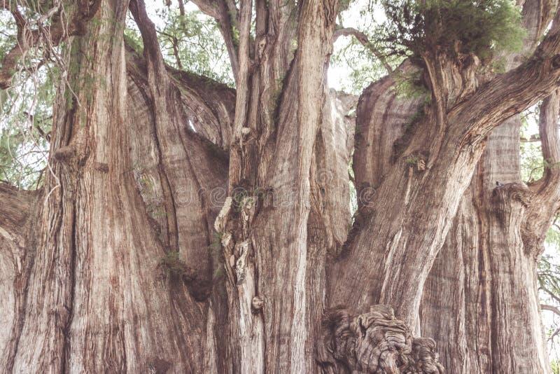 Beroemde boom van Tule in Oaxaca Mexico stock foto