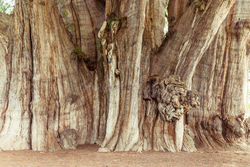 Beroemde boom van Tule in Oaxaca Mexico stock fotografie
