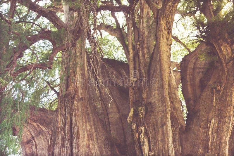 Beroemde boom van Tule in Oaxaca Mexico stock afbeelding